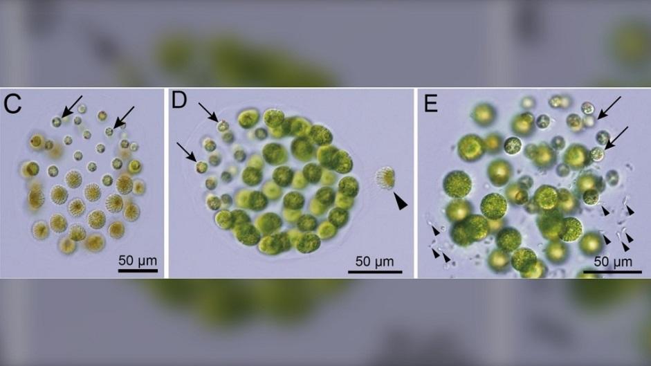 Впервые обнаружен организм с тремя полами - Здоровье Mail.ru